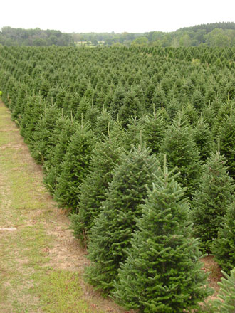 Silent Night Evergreens, Wholesale Christmas Tree Farm for over 30 ...